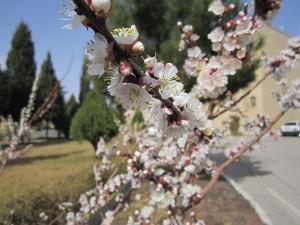 شکوفه های بهاری در دانشگاه دامغان